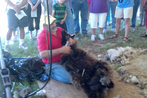 Sheep shearing at the Spring Sheep Festival