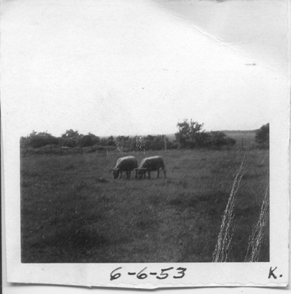 Sheep, Robert Williams, Sr.