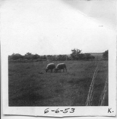 sheep6-6-53.png
